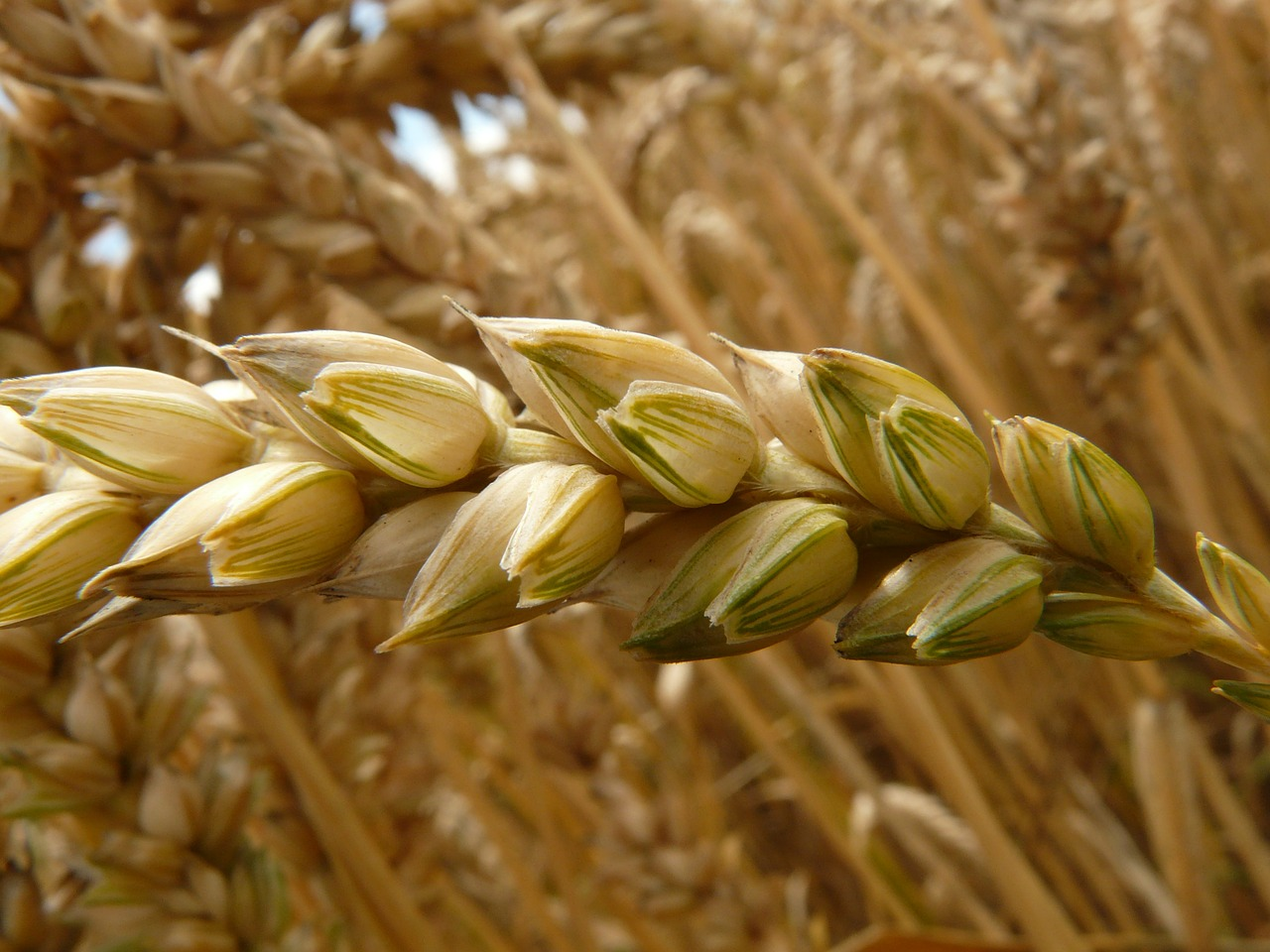 spike wheat cereals free photo