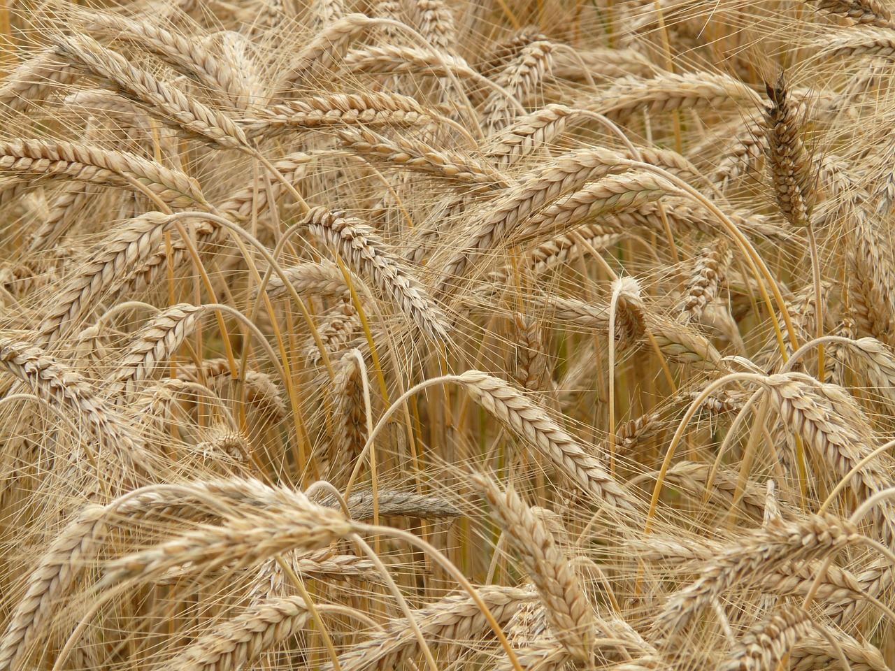 spike rye cereals free photo