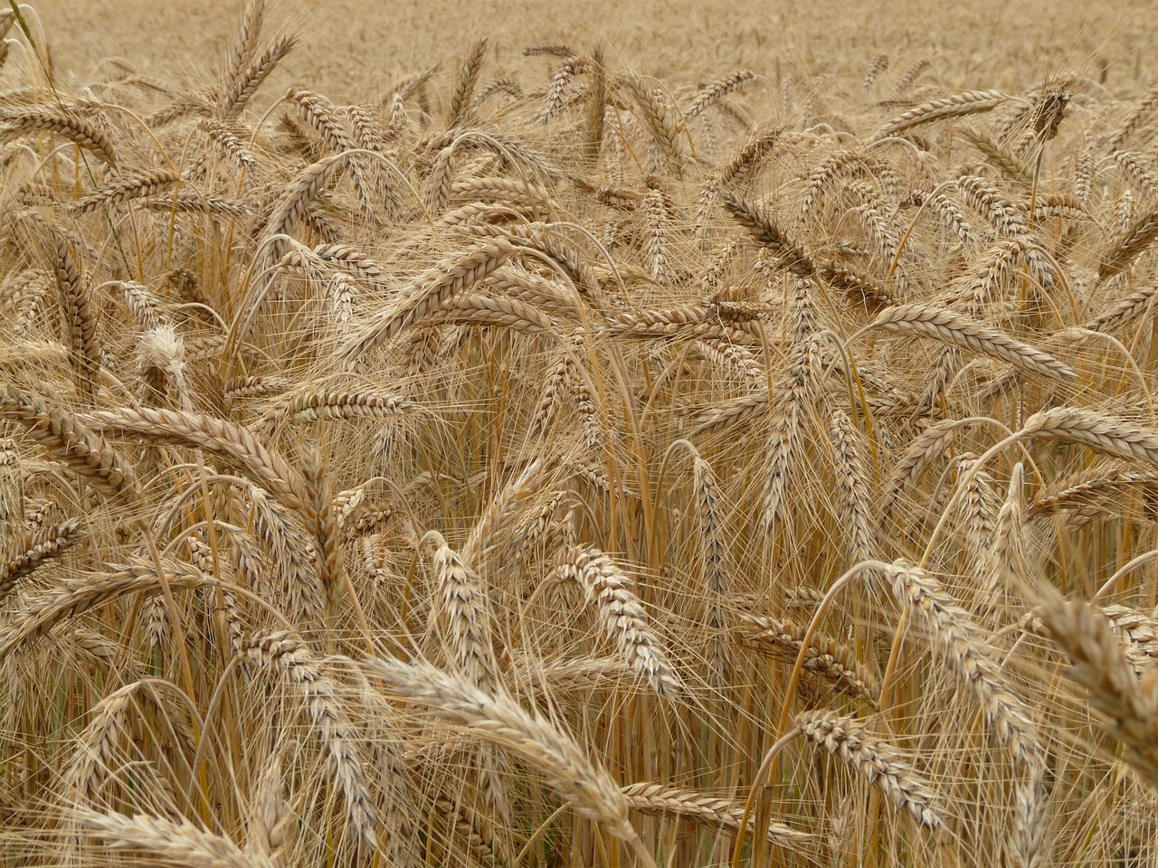 spike,rye,cereals,grain,field,rye field,cornfield,plant,nourishing rye,eat,food,arable,free pictures, free photos, free images, royalty free, free illustrations, public domain