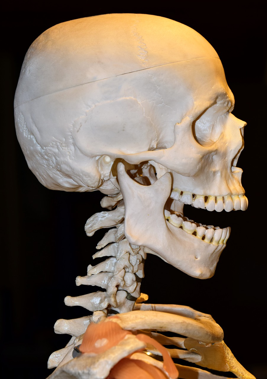Spine,cervical spine,pine,mandible,upper jaw - free photo from ...