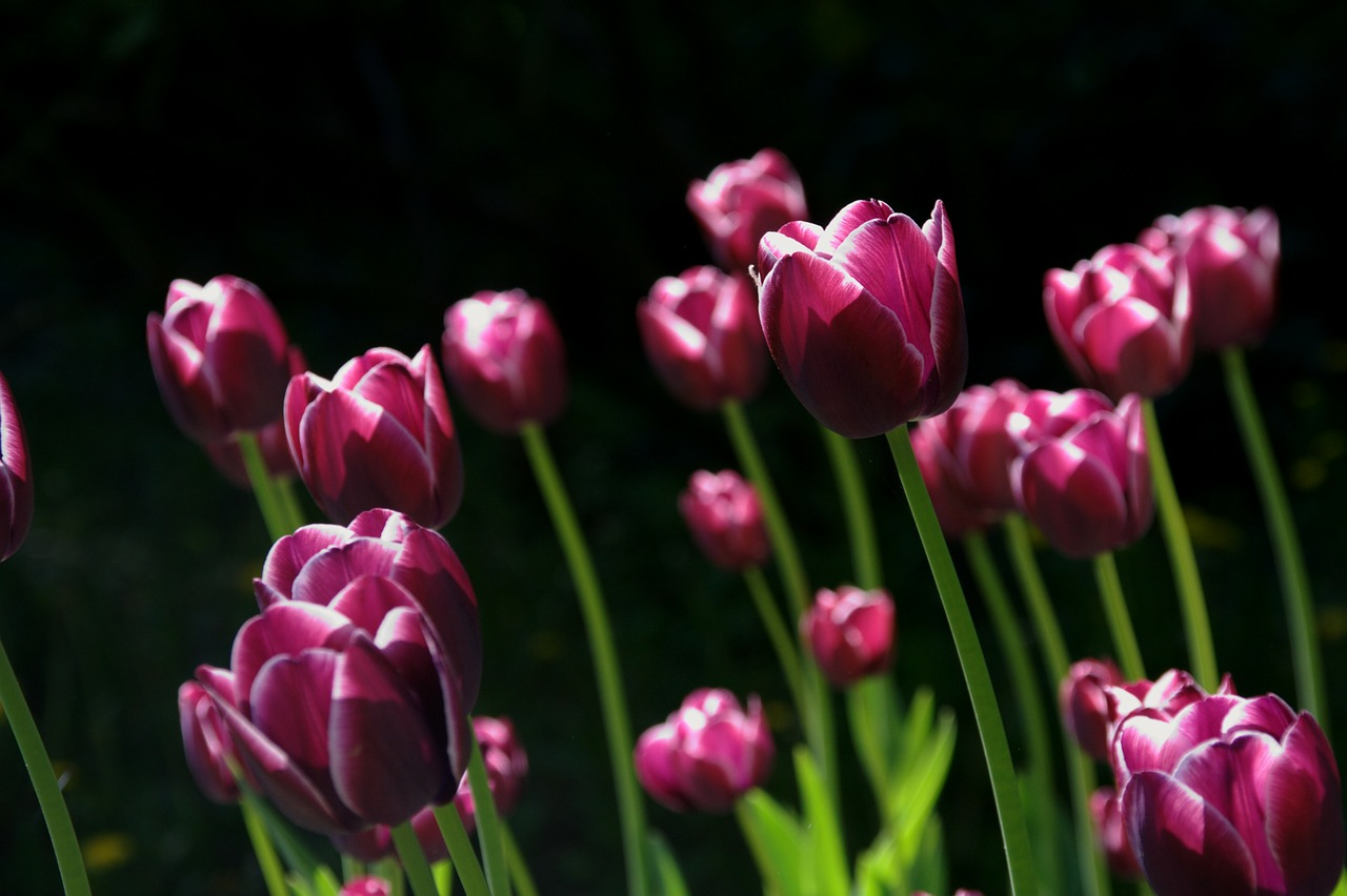 spring flower tulips free photo