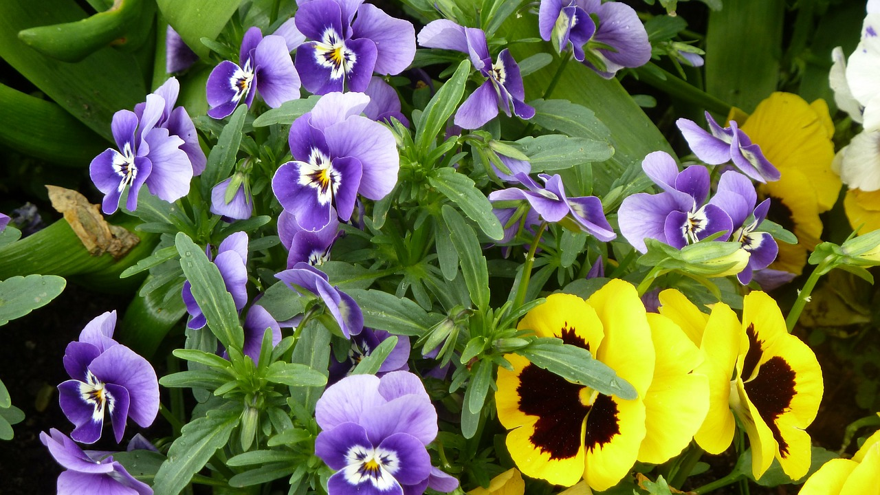 spring colorful violaceae free photo