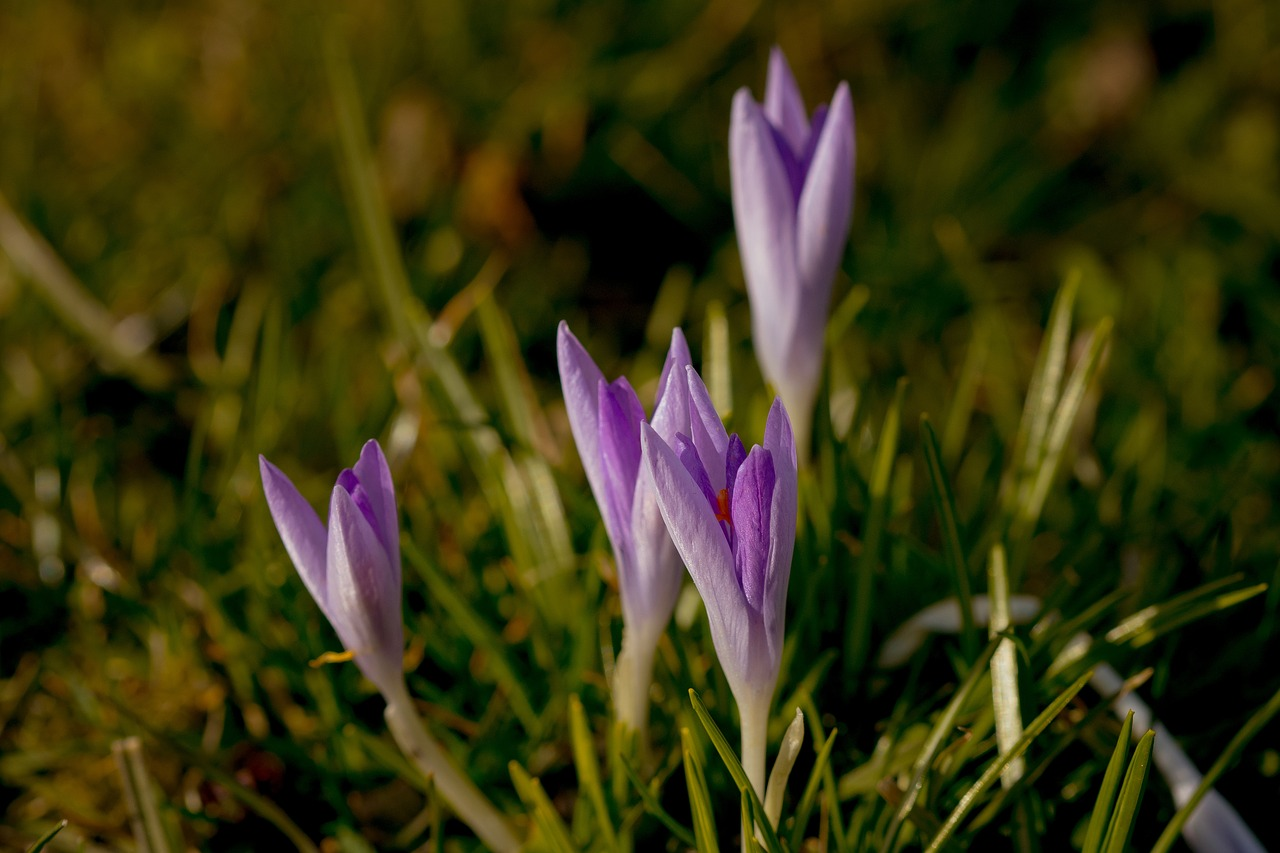 spring crocus flowers free photo