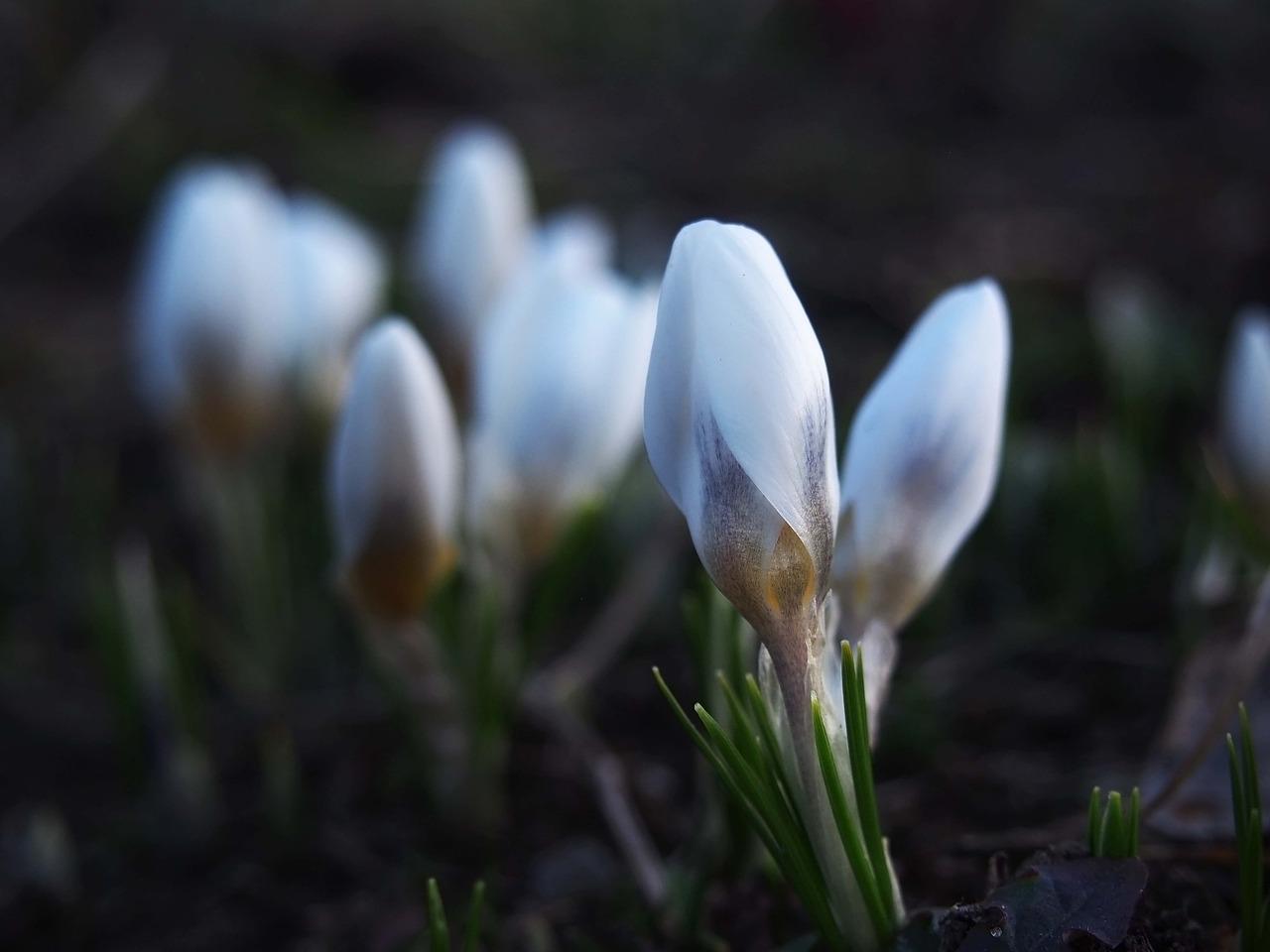 Springkrokusflowersbloomingnature Free Photo From Needpix