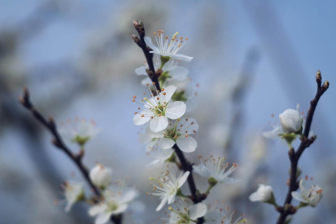spring,flowers,white,blackthorn,flowering,bush,prunus spinosa,macro,nature,free pictures, free photos, free images, royalty free, free illustrations, public domain