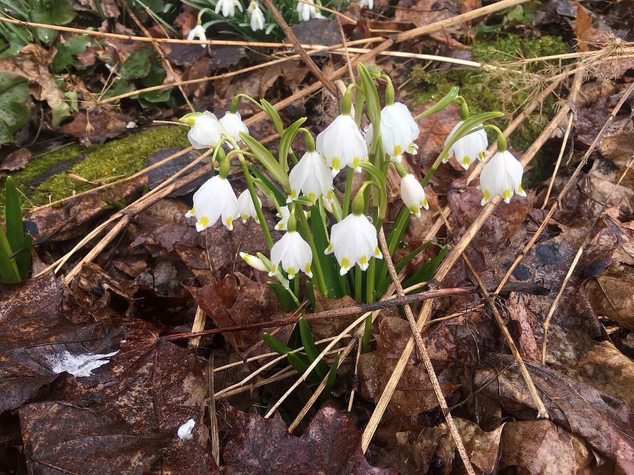 Spring Clockspringwhiteflowerwhite Flower Free Photo From