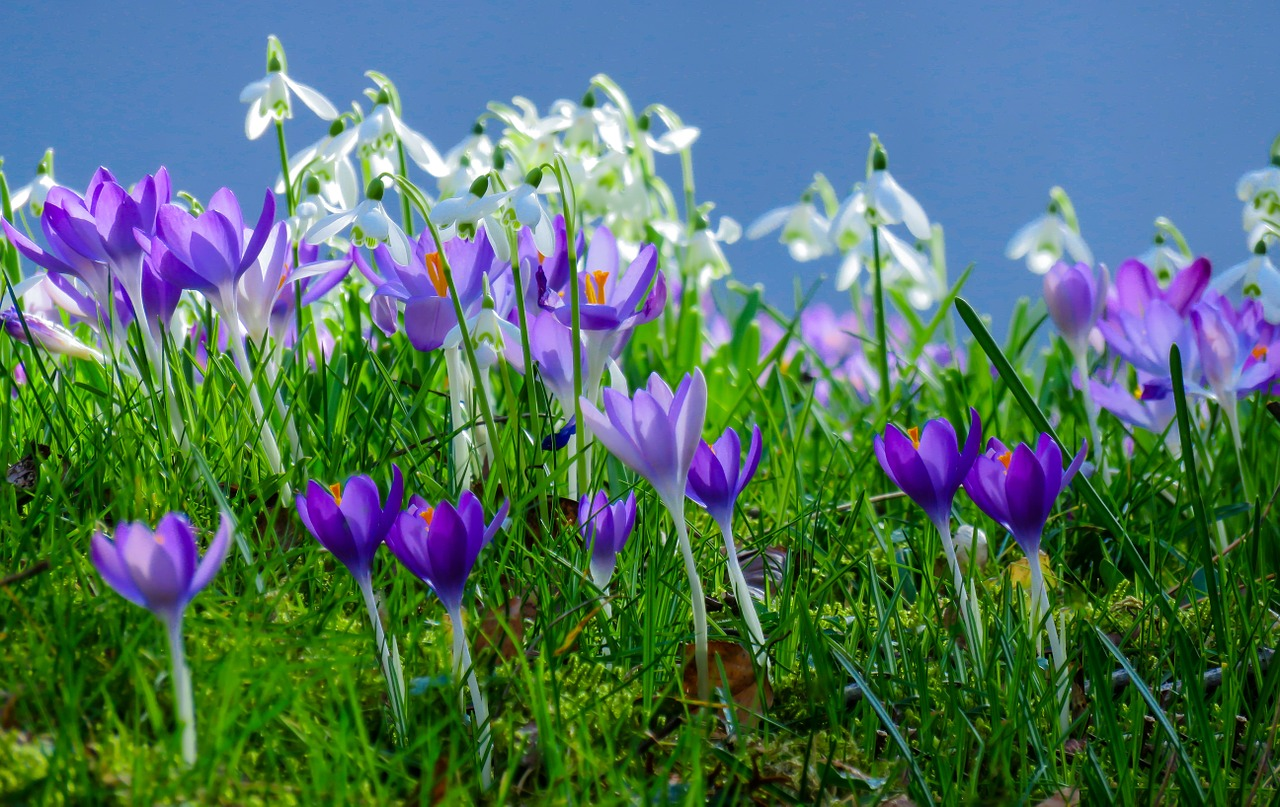 spring meadow,flower meadow,crocus,spring,flowers,spring fever,bloom,snowdrop,harbinger of spring,springtime,close,spring awakening,meadow,sky,blue,frühlingsanfang,spring flowers,free pictures, free photos, free images, royalty free, free illustrations, public domain