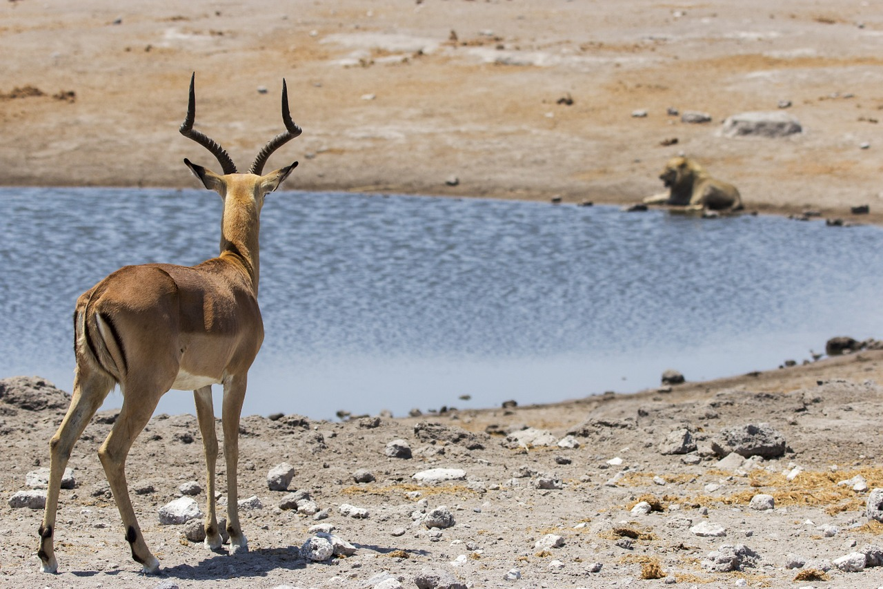 Springbok,animal,lion,water,hole - free image from needpix.com