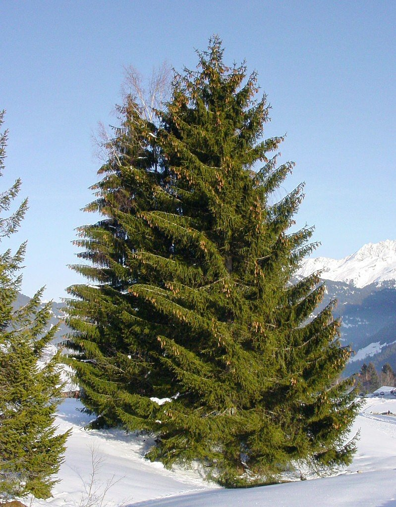 spruce conifer christmas tree free photo
