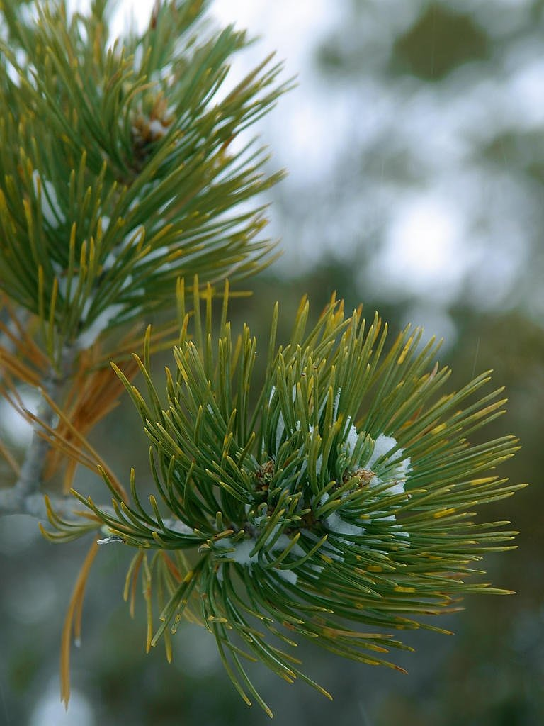spruce needles branch free picture