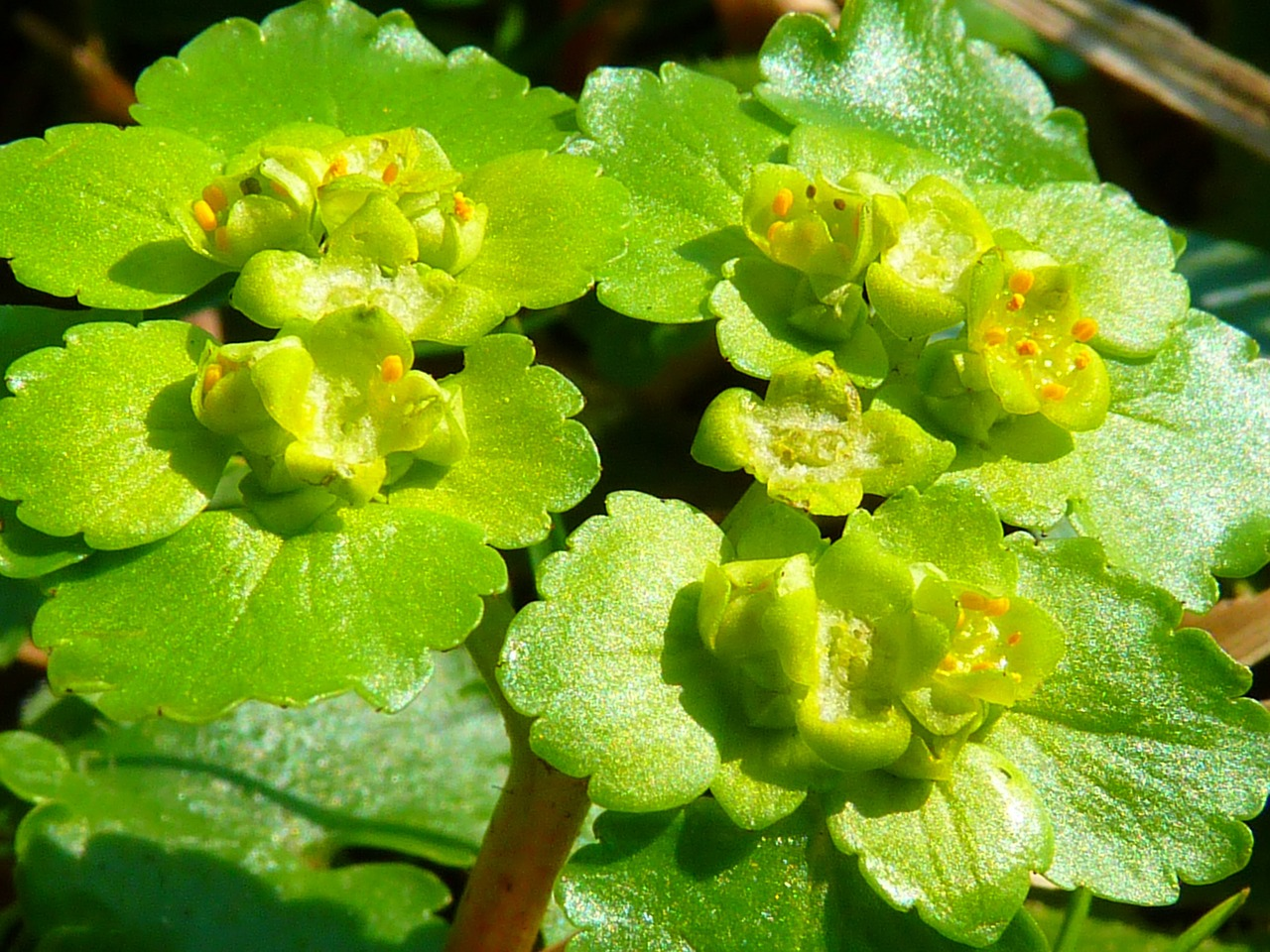 spurge family green flower free photo