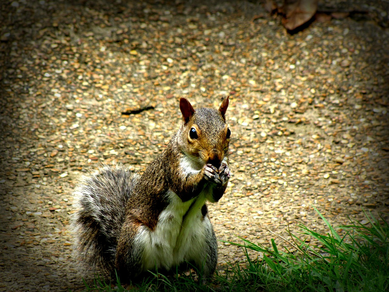 squirrel rodent animal free photo