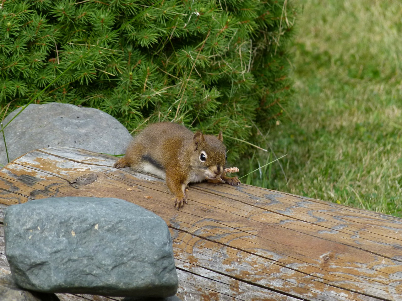 squirrel rodent brown free photo