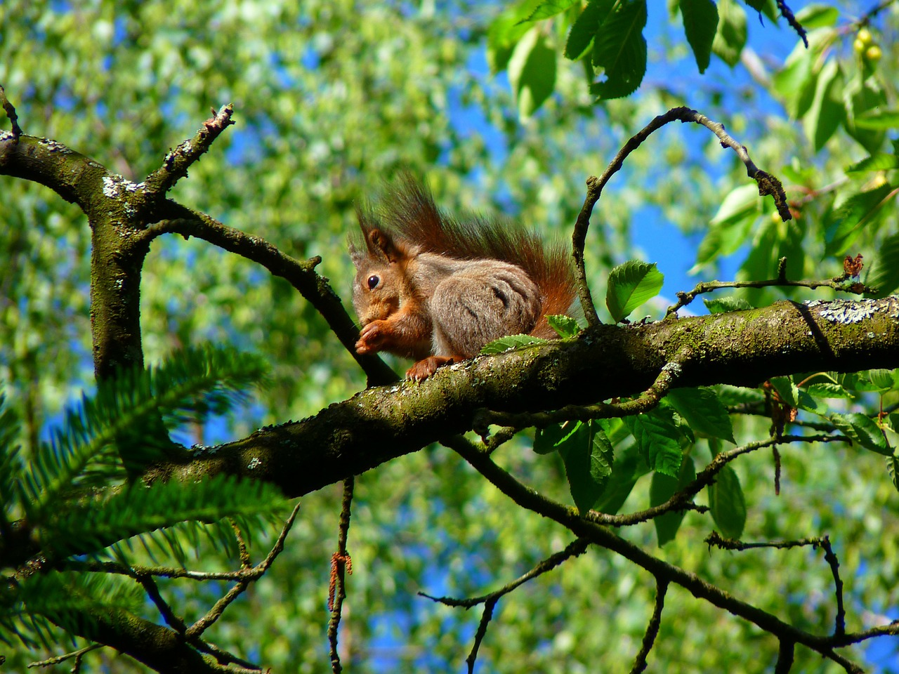 squirrel rodent climb free picture
