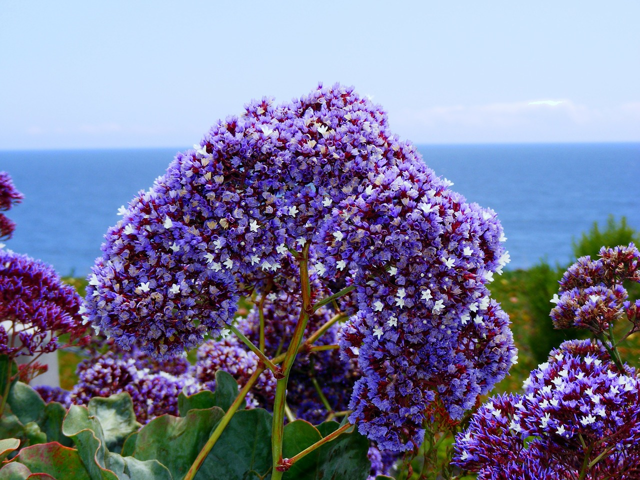statice,sea lavender,coastal bluffs,california,pacific,pacific ocean,soothing,shoreline,ocean,nature,coast,sea,water,flower,purple flower,flowers,plants,free pictures, free photos, free images, royalty free, free illustrations, public domain