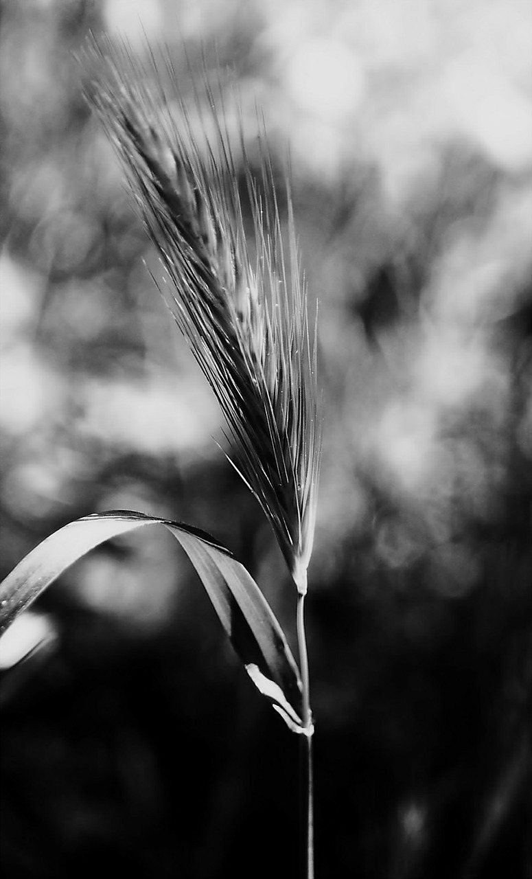stem,nature,plants,black and white,blur,blur background,sant jordi,free pictures, free photos, free images, royalty free, free illustrations, public domain