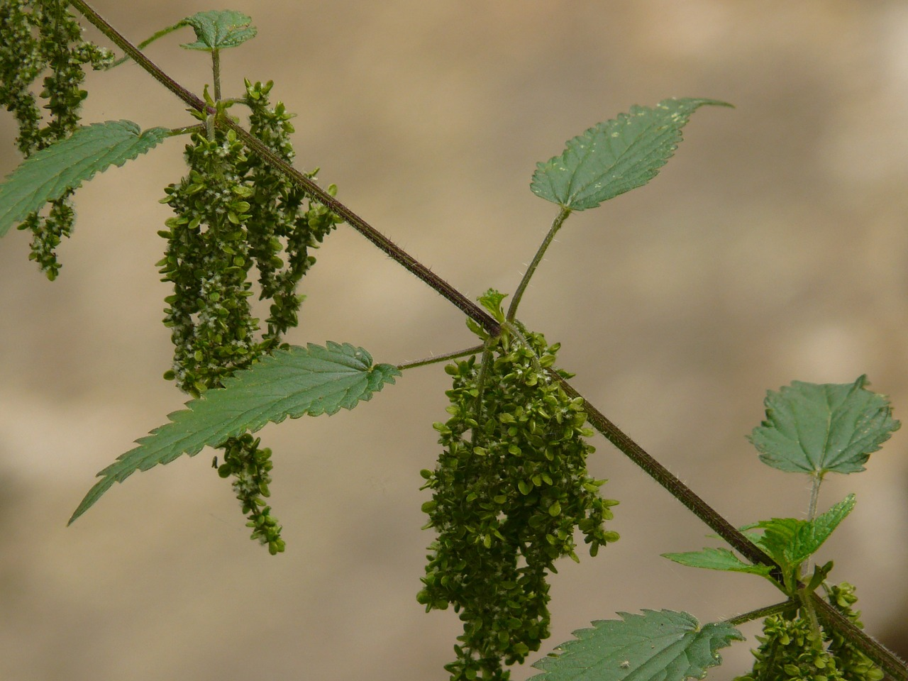 stinging nettle back light nature free photo