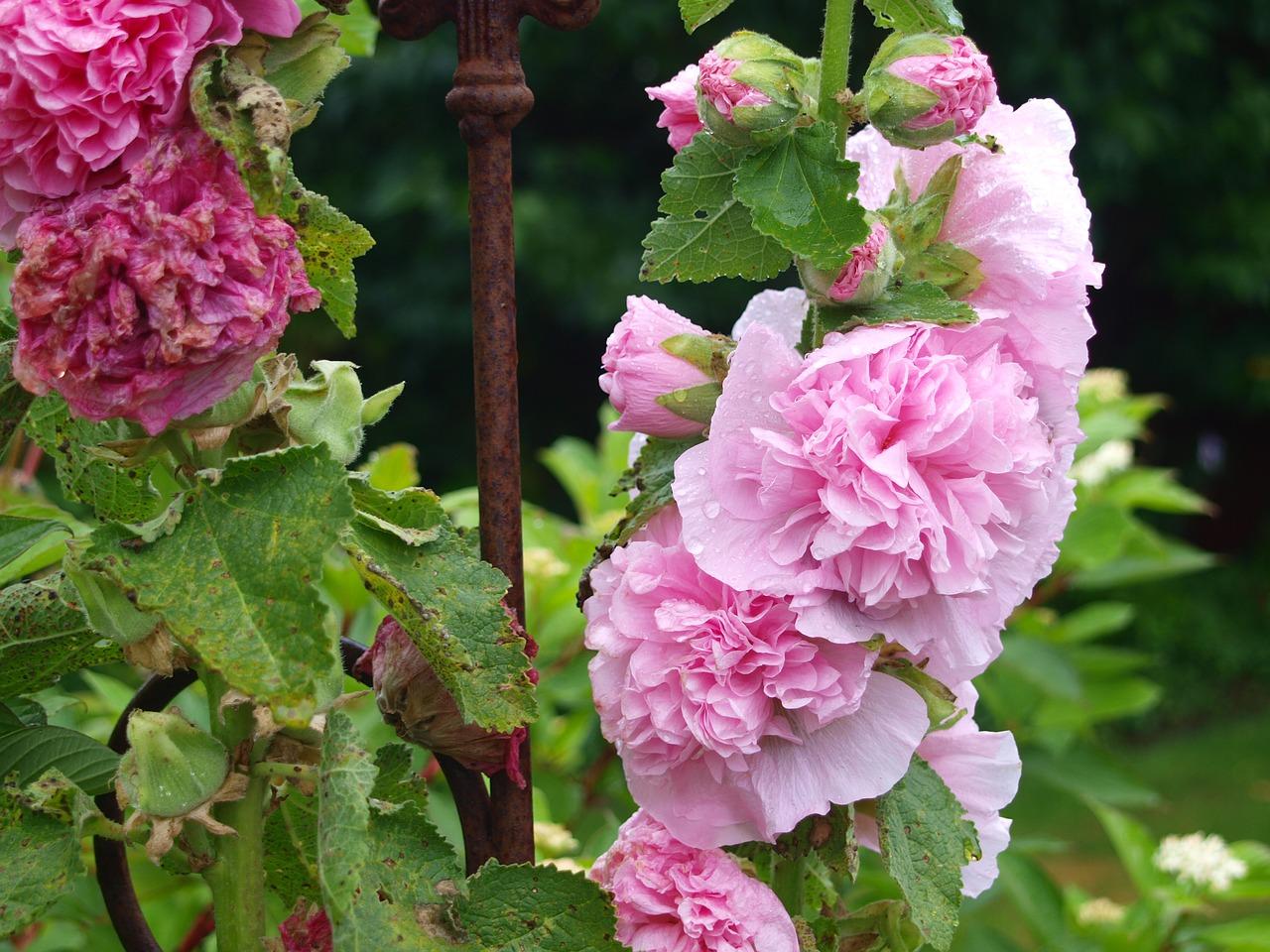 Stock Roserainpinkflowersgarden Free Photo From Needpix