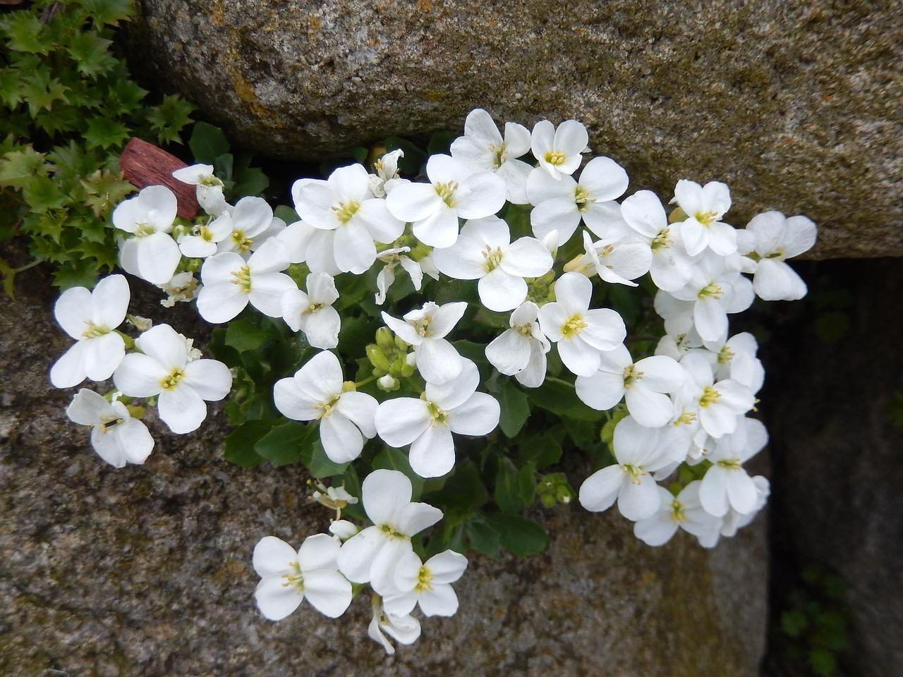 Stone Cropstone Gardenspringblossombloom Free Photo From
