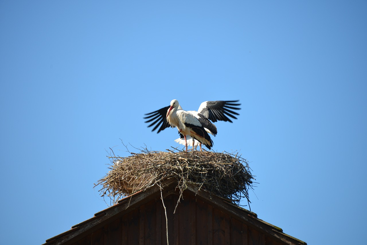storchennest nest storks free photo