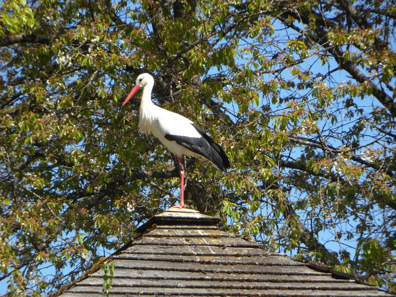 stork rattle stork roof free photo