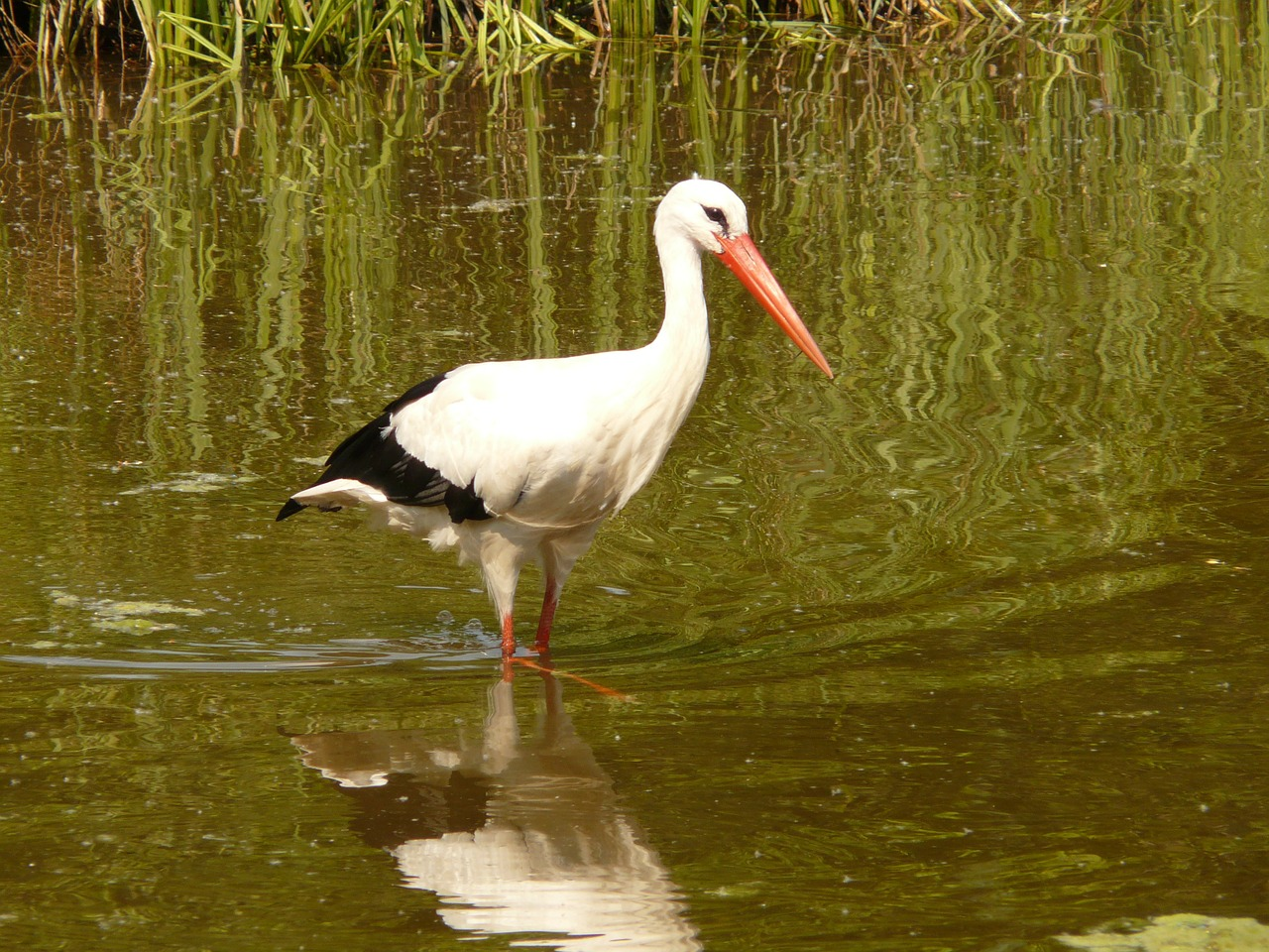 stork water waters free photo