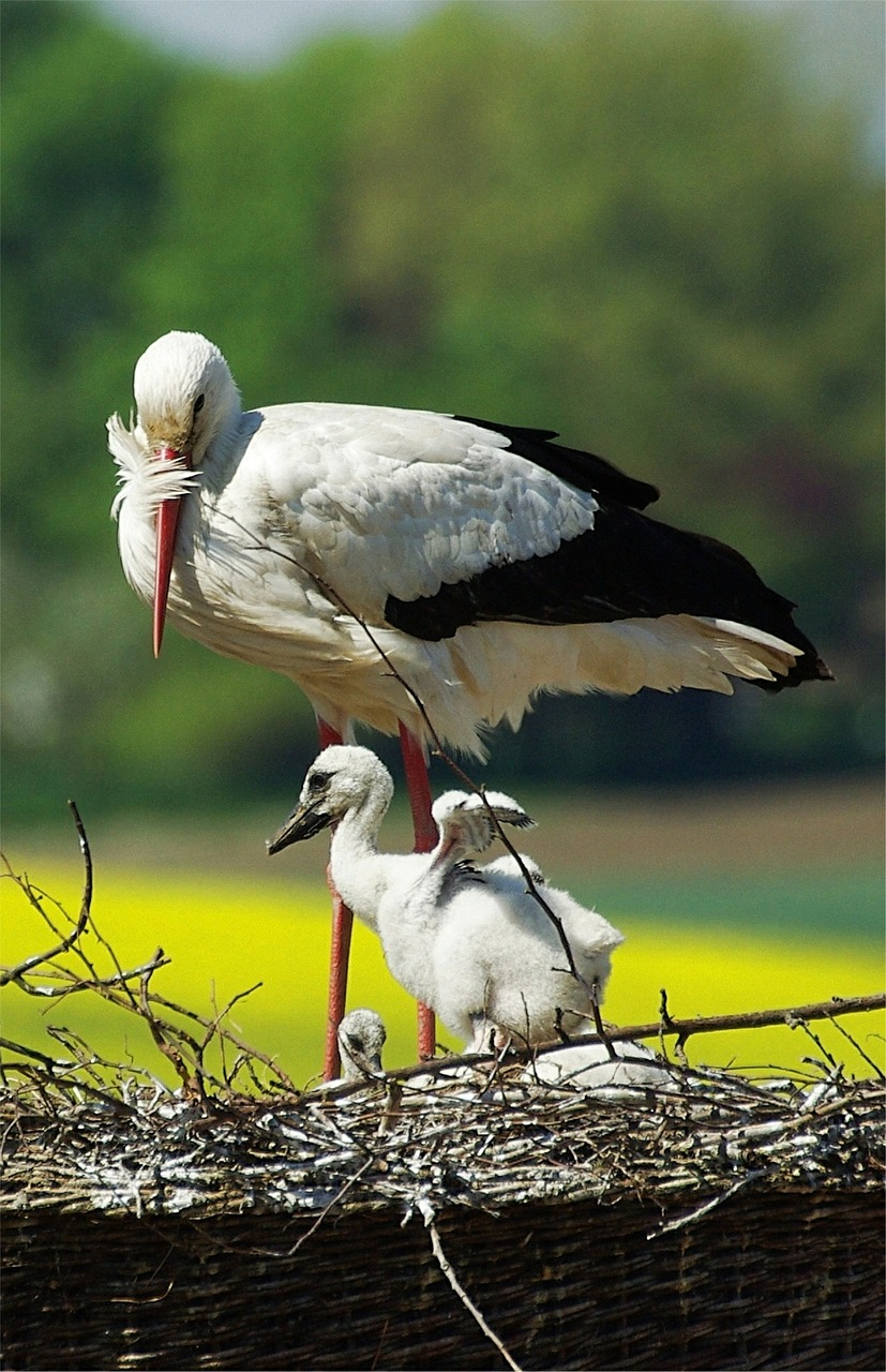 stork young stork storchennest free photo