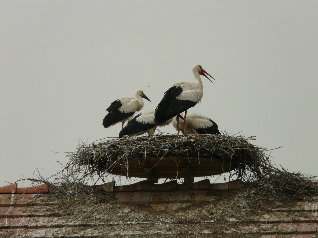stork storchennest bird free photo