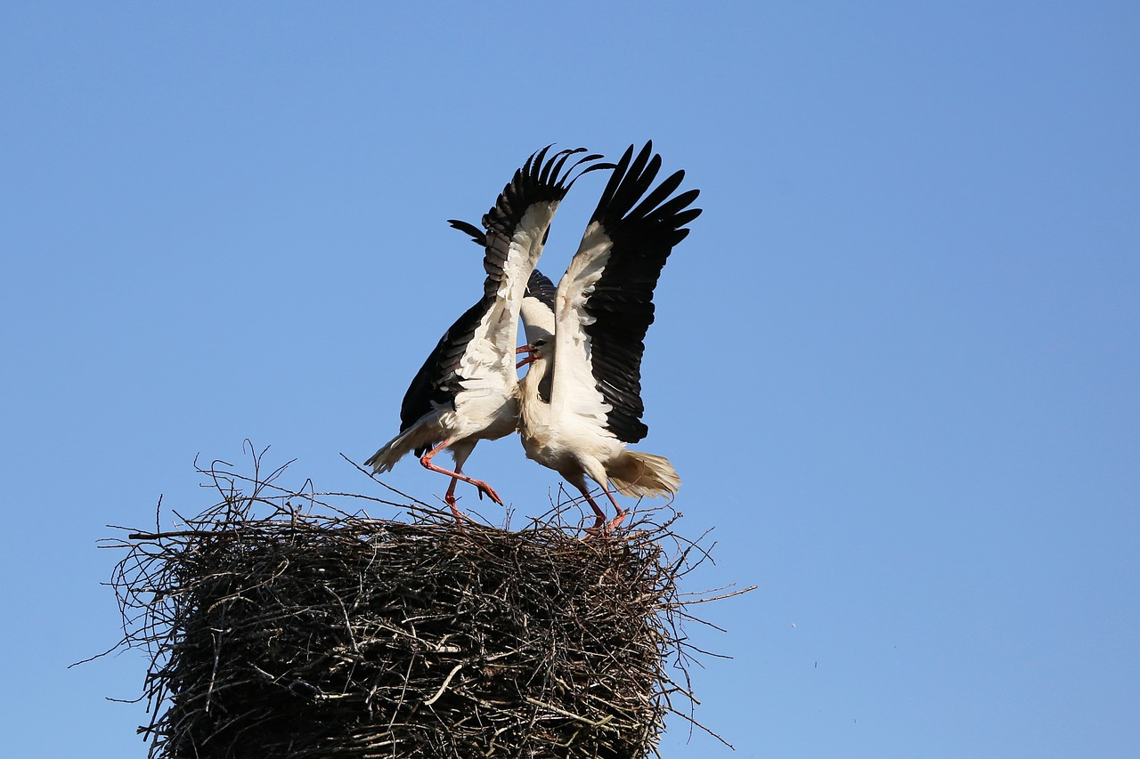 stork fighting stork bird free photo