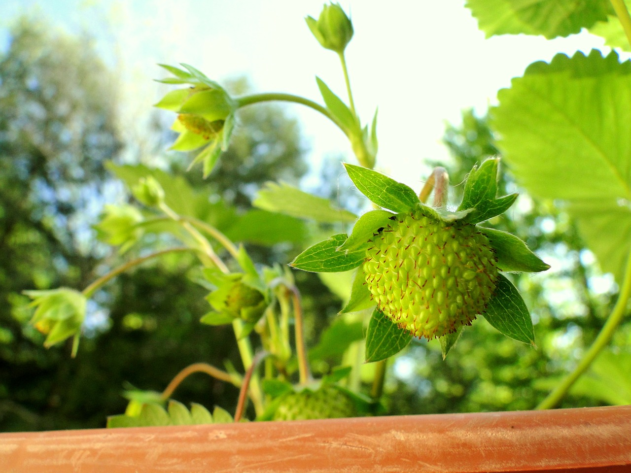 strawberry plant green free photo