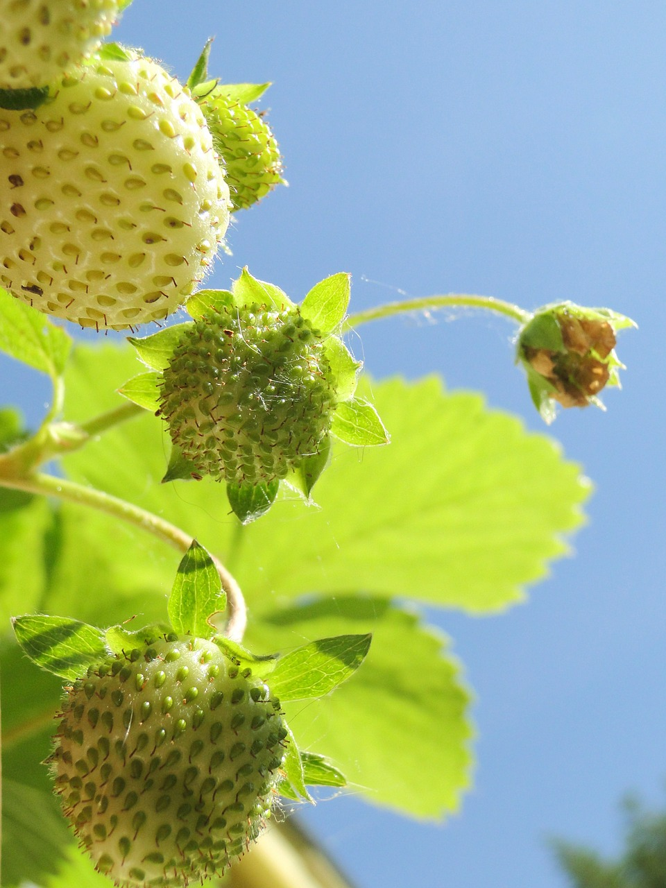 strawberry green fruit free photo
