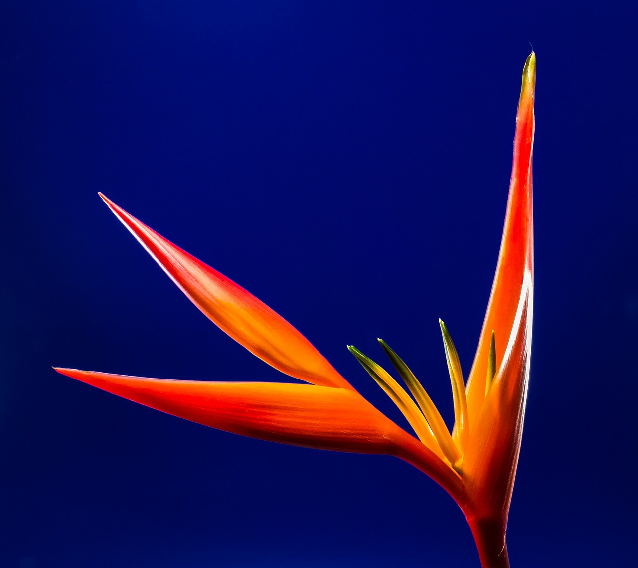 strelitzia blossom bloom free photo