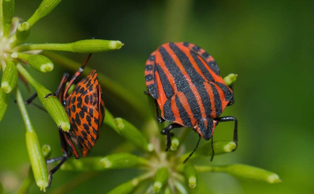 Scoliid wasps flower wasps mammoth wasps scarab hawks scarab hunters