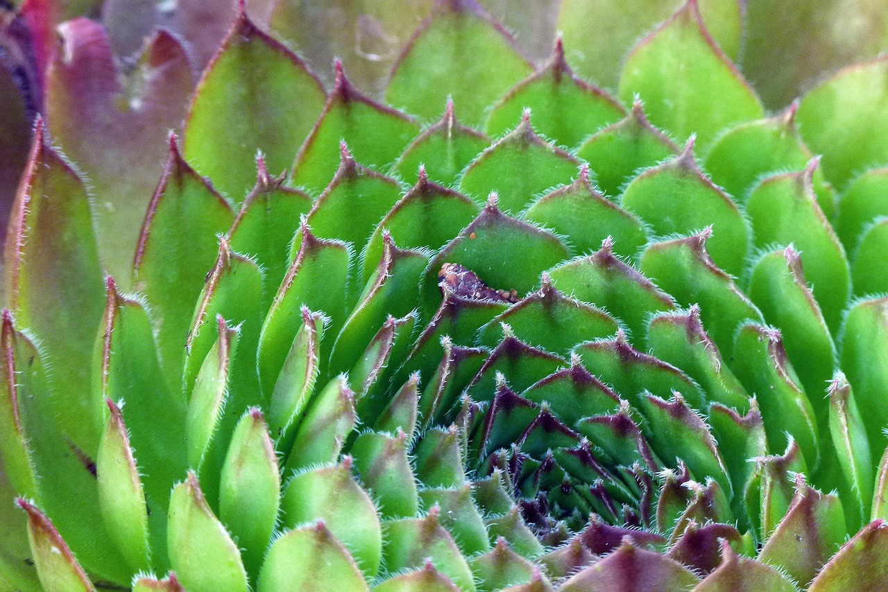 succulent plant chicks and hens free photo