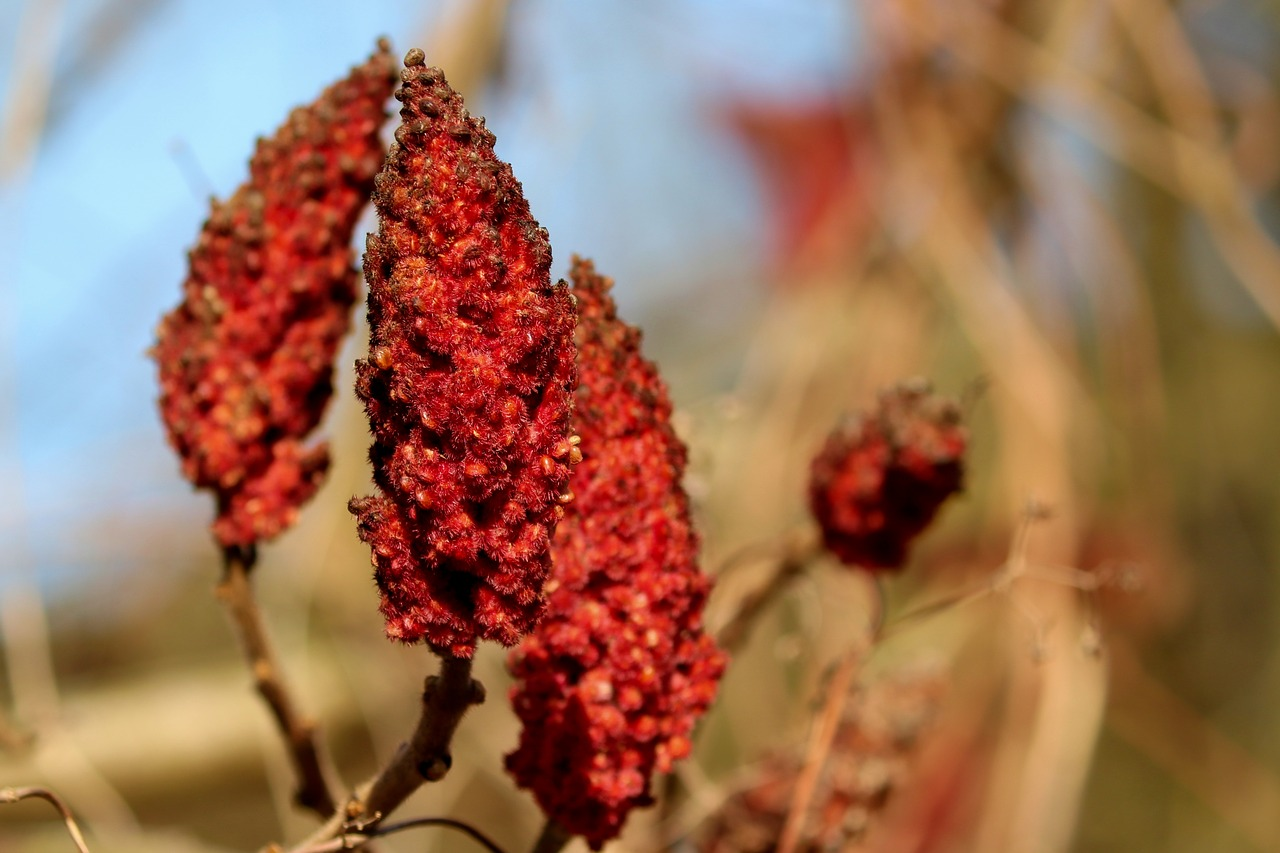 sumac  rhus  spice free photo