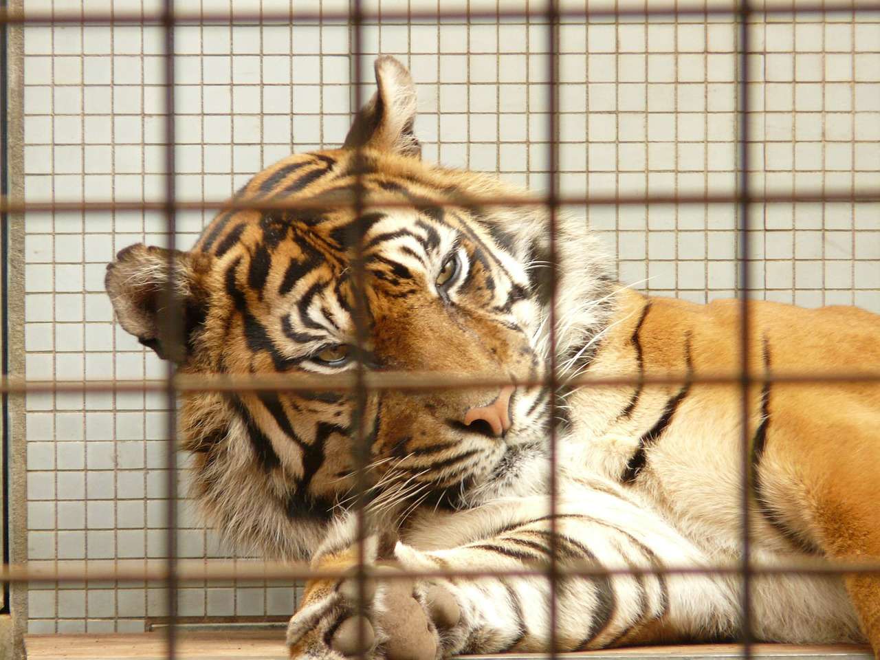 sumatran tiger tiger cage free photo
