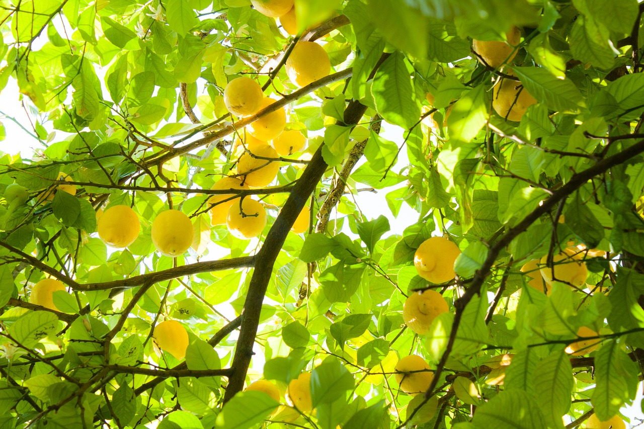 summer lemons yellow free photo