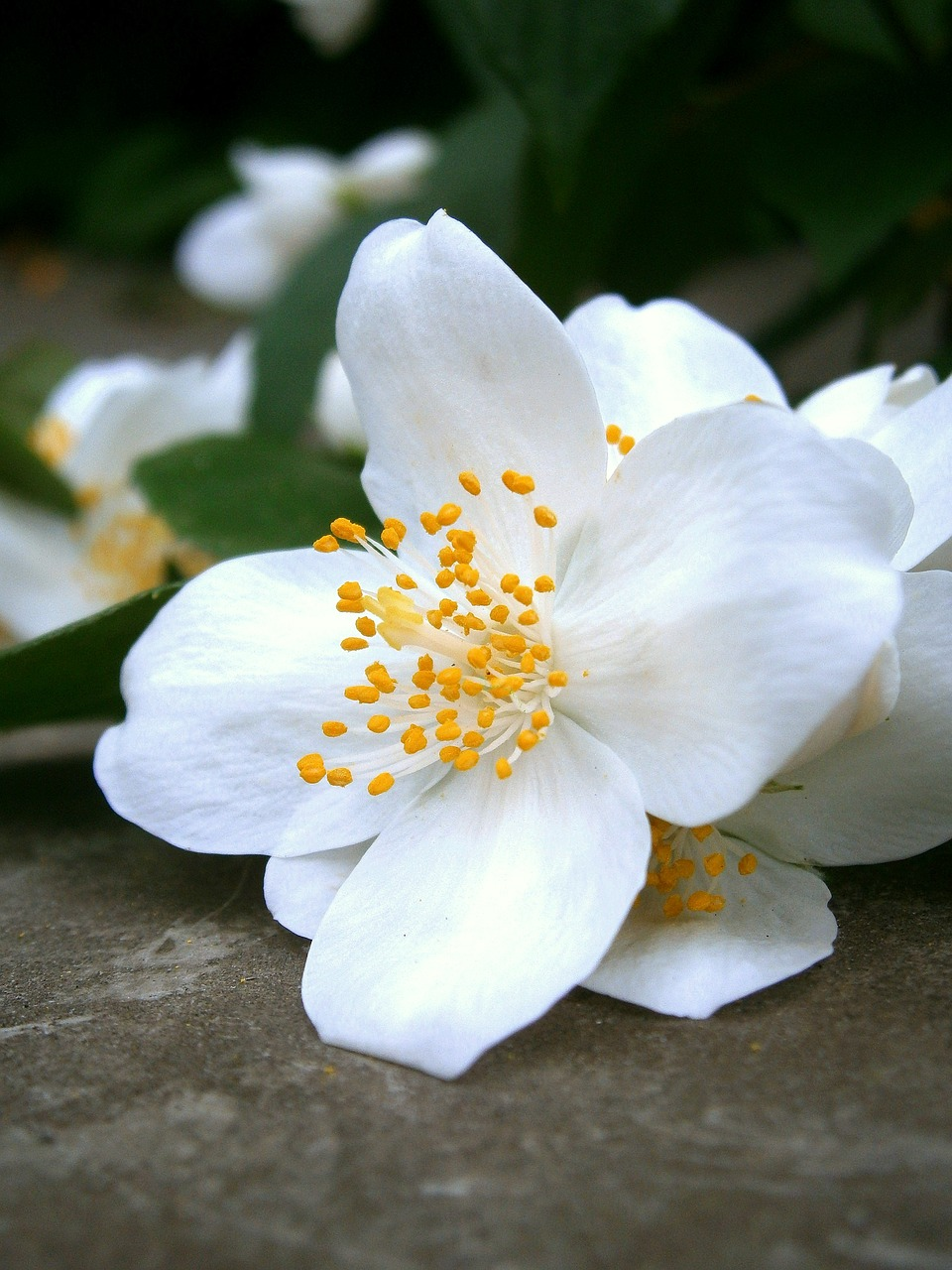 summer jasmine bauer jasmin mock orange free photo