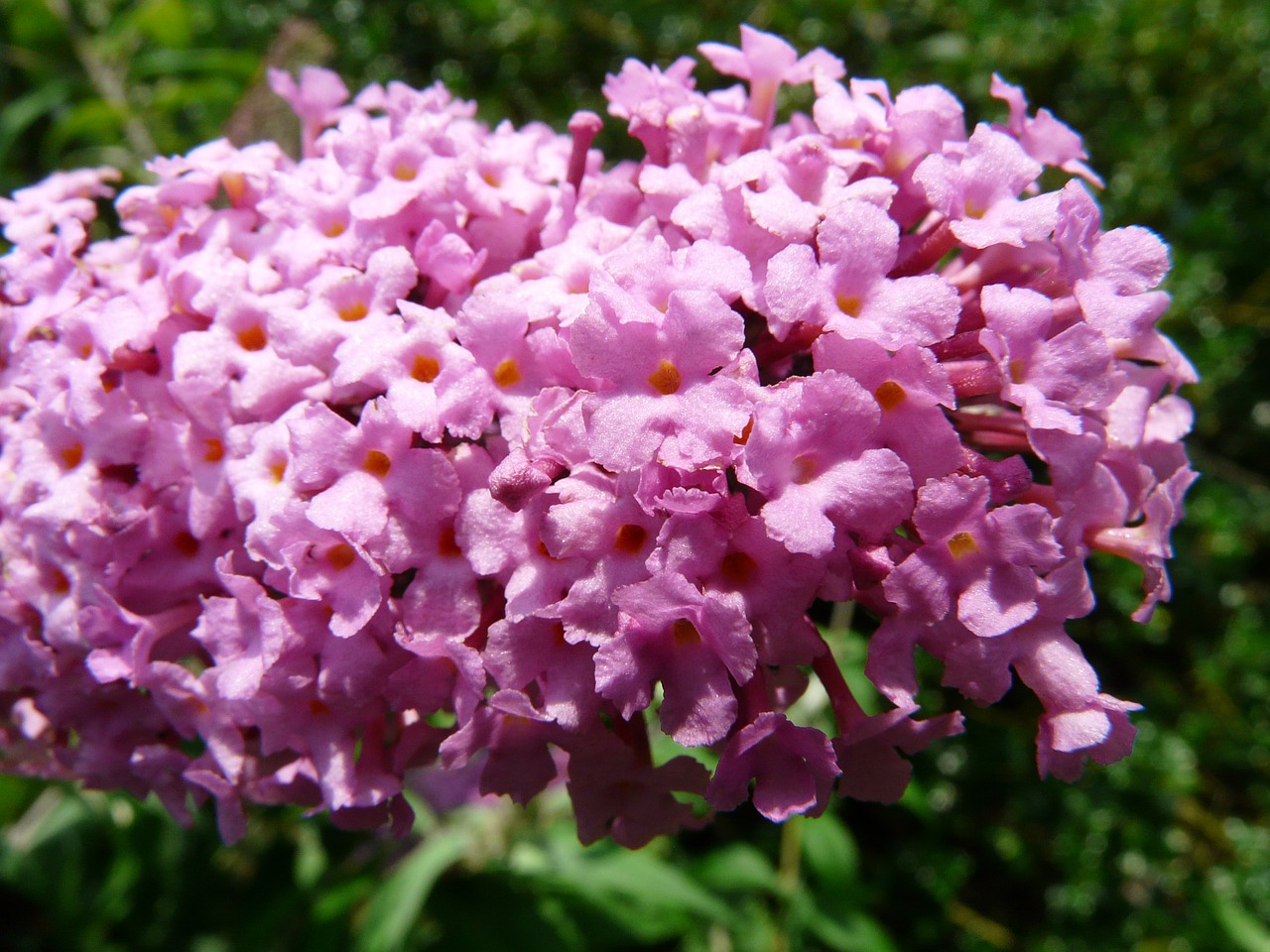 summer lilac,buddleja,flower,plant,colorful,beautiful,summer,flora,lilac,free pictures, free photos, free images, royalty free, free illustrations, public domain