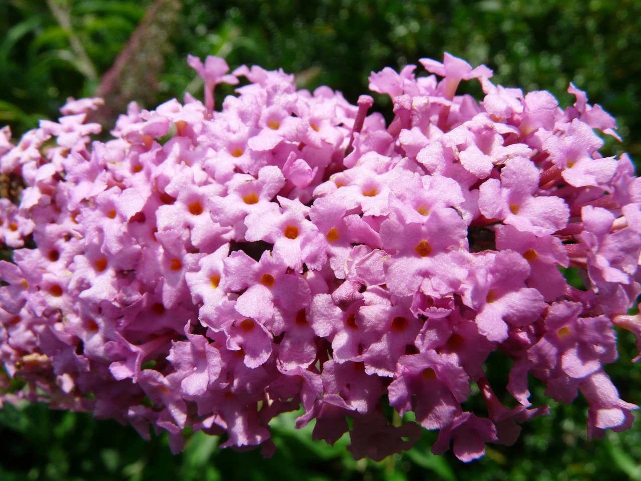 summer lilac buddleja flower free photo
