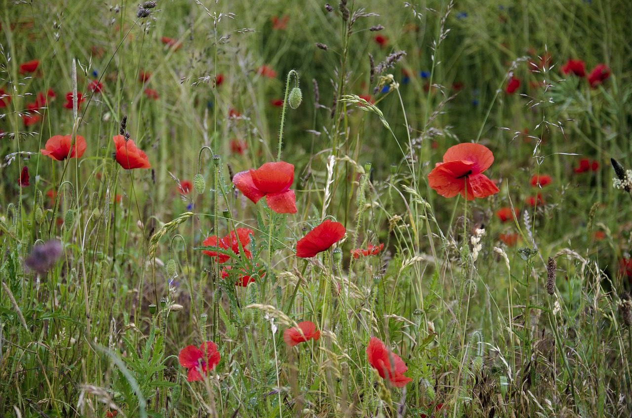summer meadow swedish summer poppy free photo