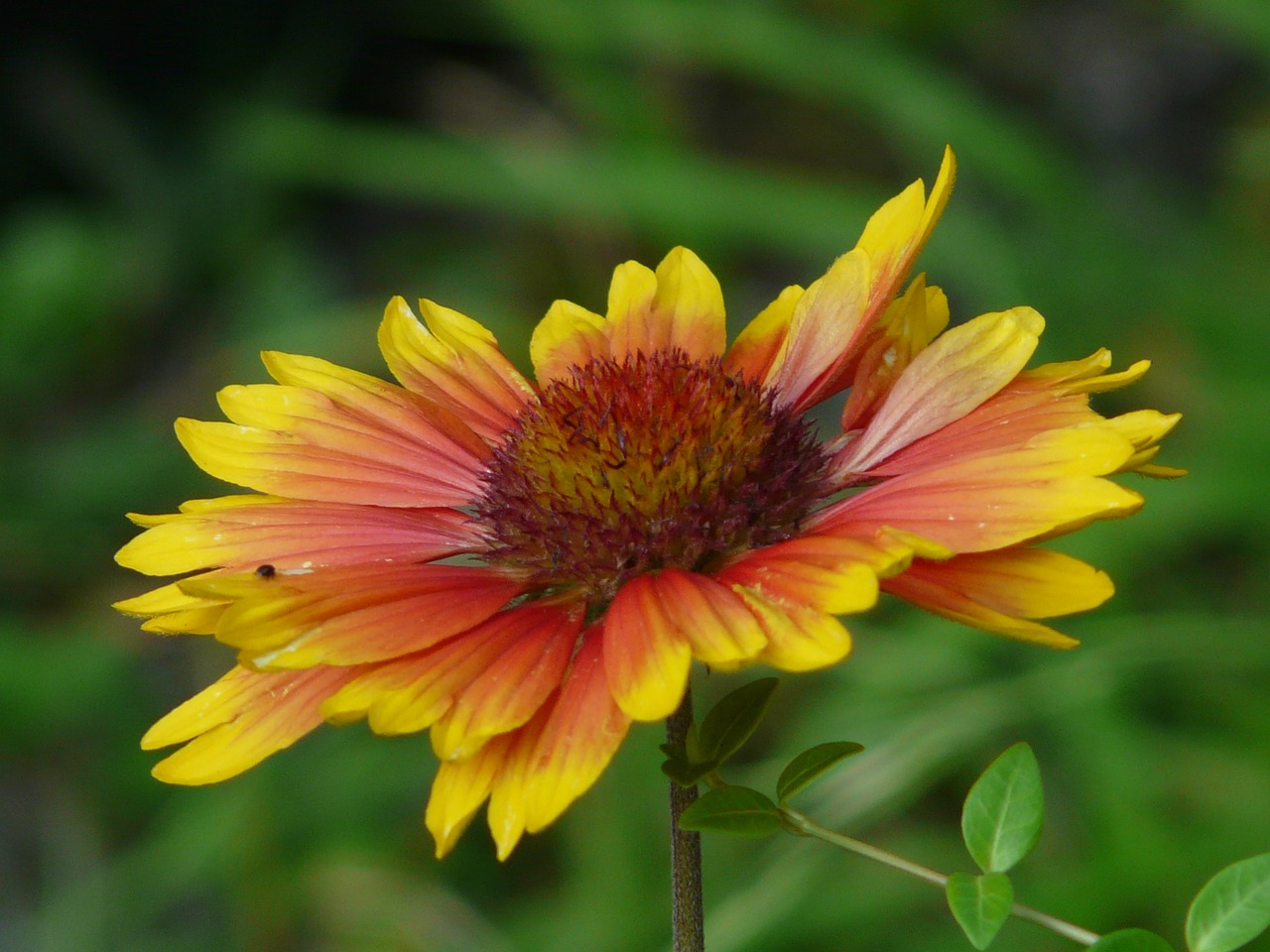 sun brews helenium composites free photo