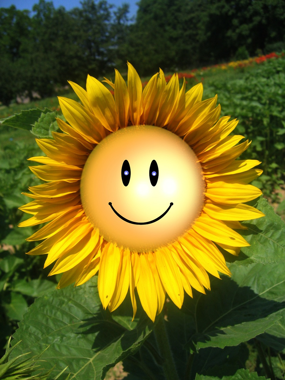 sun flower smile smiliey free photo