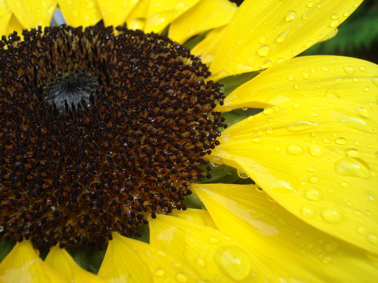 sun flower close raindrop free photo