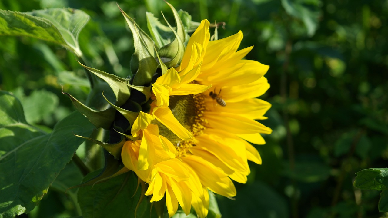 sun flower sunflower flowers free photo