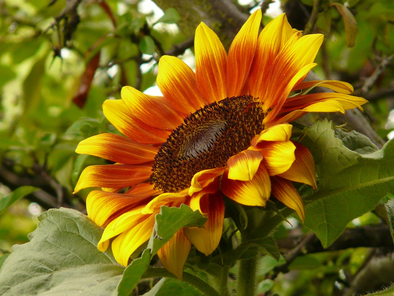 sun flower flower blossom free photo