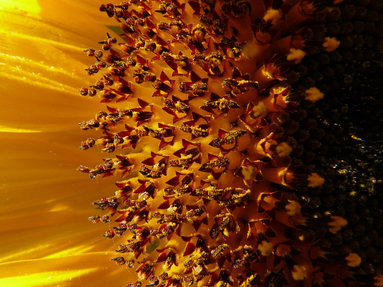sun flower inflorescence flower basket free picture