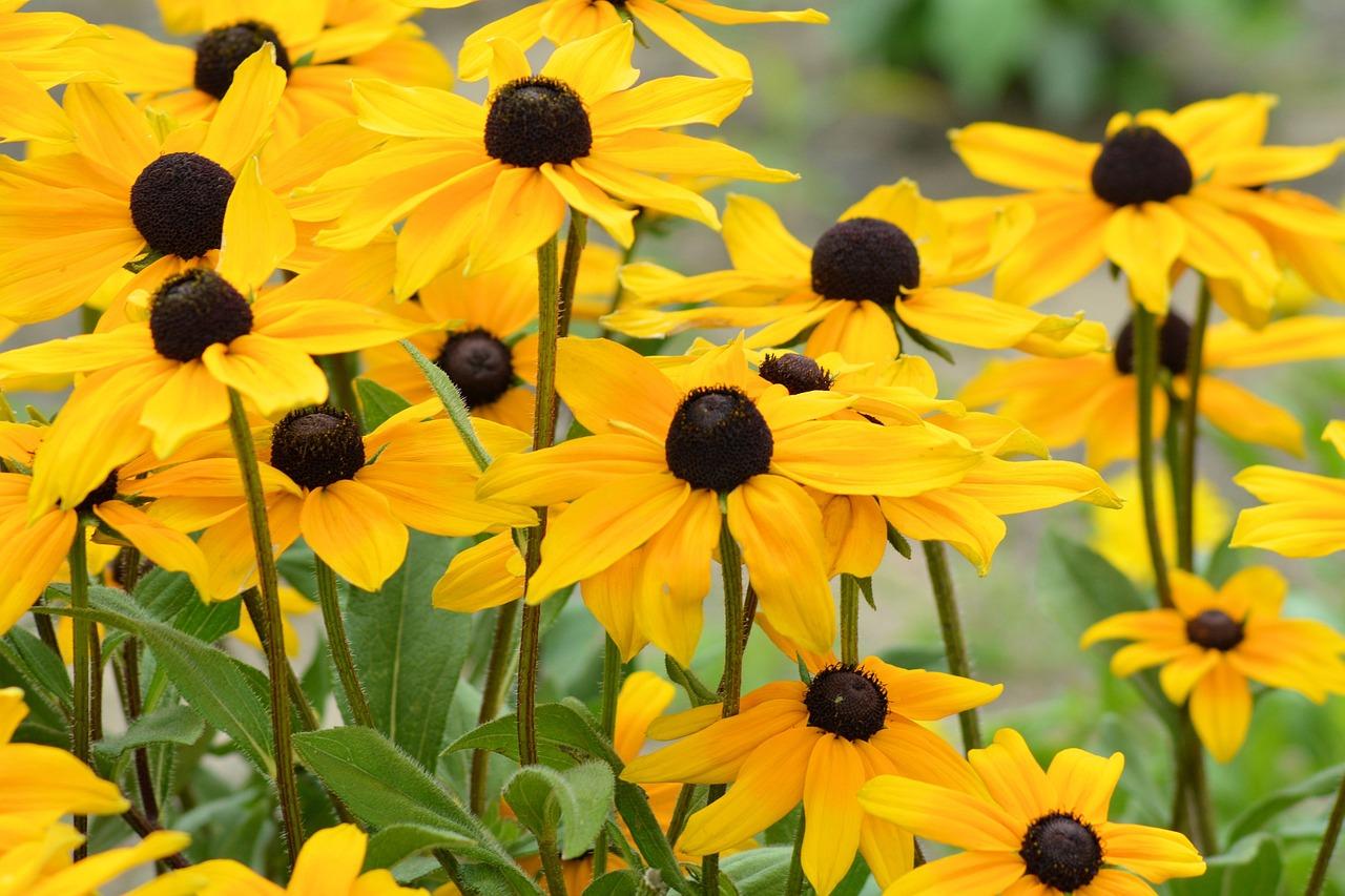 Sun Hatyellowyellow Flowersshining Coneflowerflower Garden