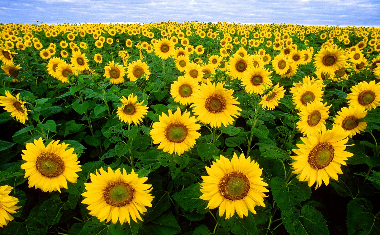 sunflower sunflower field flora free photo