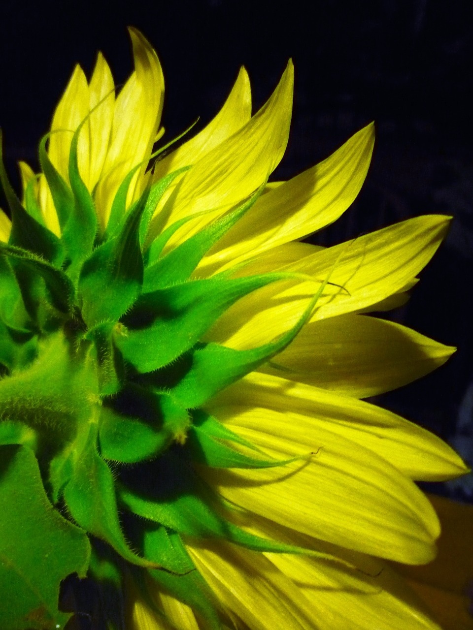 sunflower flower blossom free photo